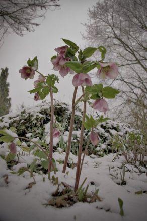 Helebores - Lenten rose