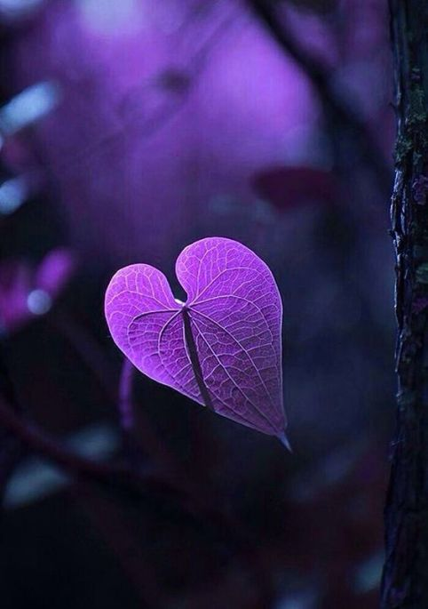 purple heart leaf
