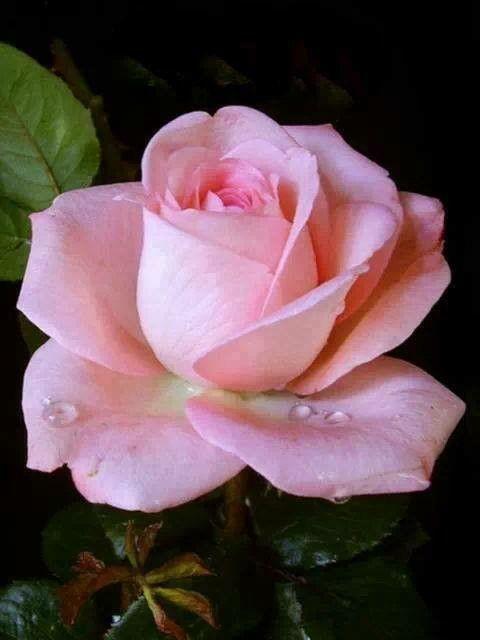 rosa rosada