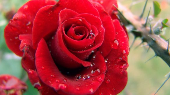 Rose Flower Dewdrops Drops Rain Red Hd Wallpaper Free Download