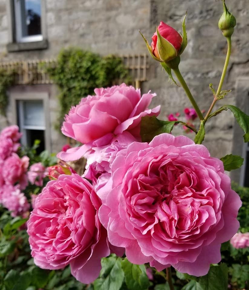 roses in EDI